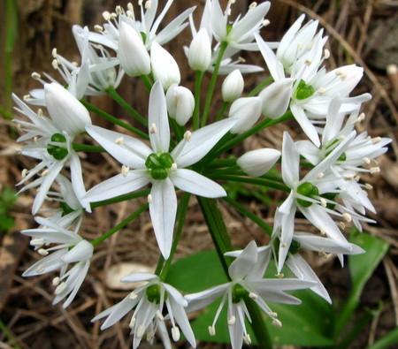 Allium-ursinum-flos-wild-garlic-Barlauch-ail-sauvage-crembos-alicin-aliin-mother-tincture-urtinktur-teinture-mere-homeopat-tinktura-ekstrakt-biljni-preparati-com