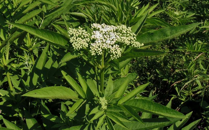Burjan (Sambucus ebulus L.)