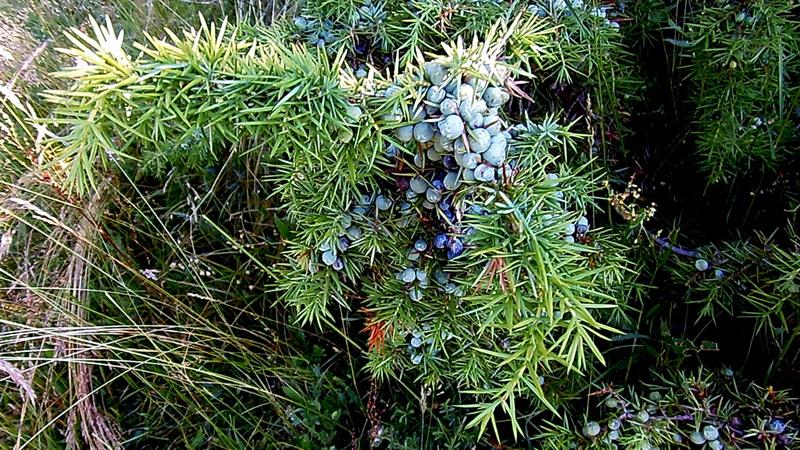 Kleka (Juniperus communis L.)