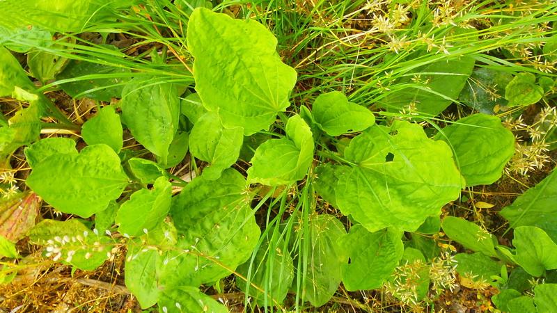Velika bokvica (Plantago major L.)