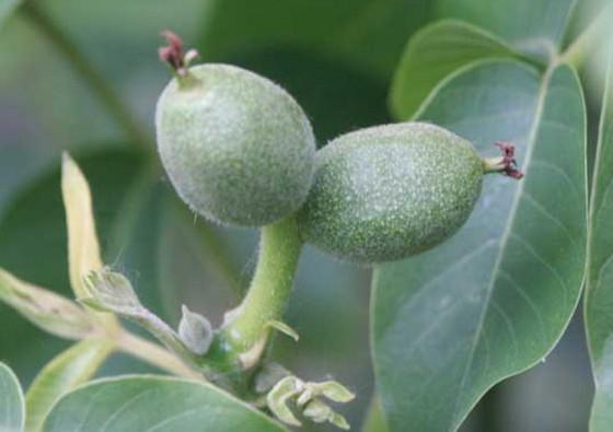 juglans-regia-fructus-immaturus-walnut-walnusse-noyer-orah-mother-tincture-urtinktur-teinture-mere-homeopat-ekstrakt-tinktura-biljni-preparati-com