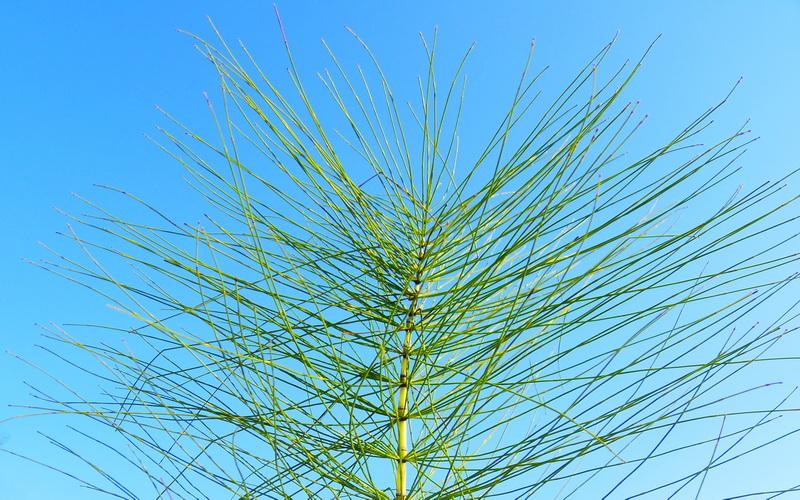 Rastavić – Equisetum arvense (Equisetaceae)
