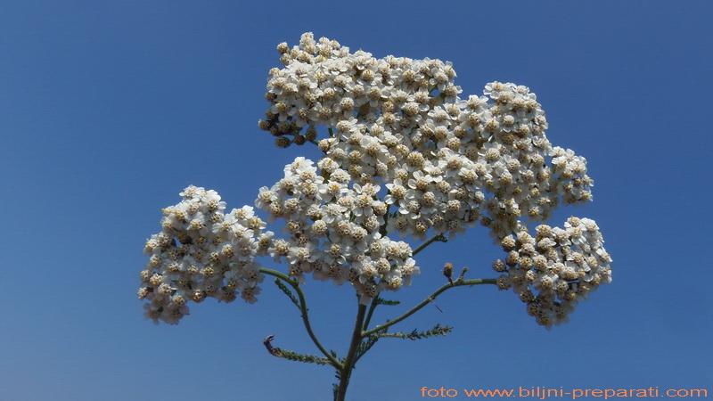 Mesečina (Achillea millefolium L.)