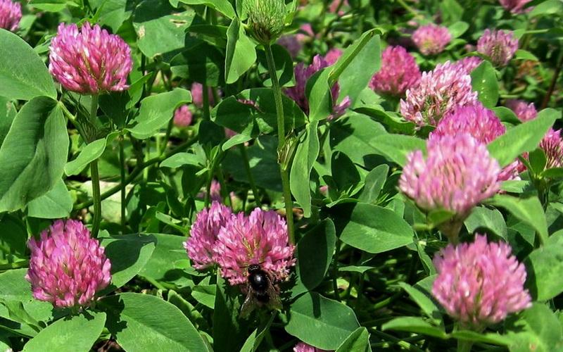 Crvena detelina (Trifolium pratense L.)