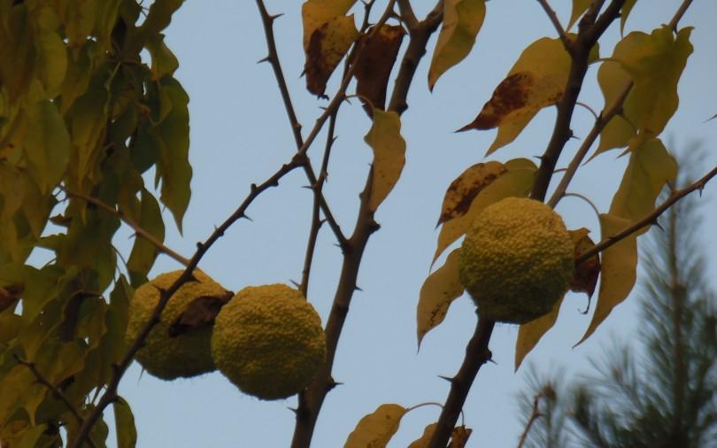 Maklura (Maclura pomifera L.)