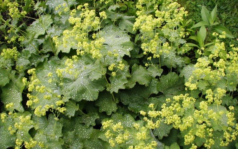 Virak (Alchemilla vulgaris L.)