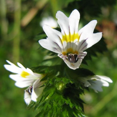 Vidac (Euphrasia officinalis L.)