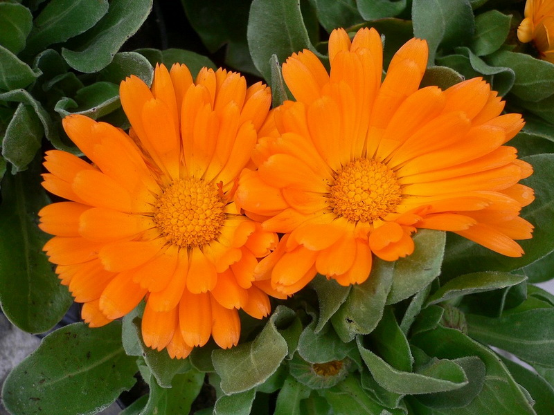 Neven (Calendula officinalis L.)