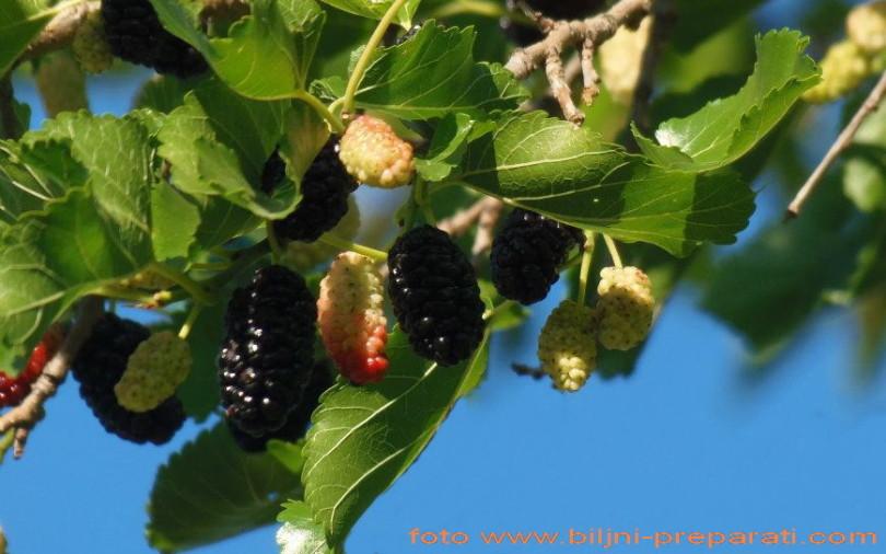 Beli/ crni dud (Morus alba/ nigra L.)