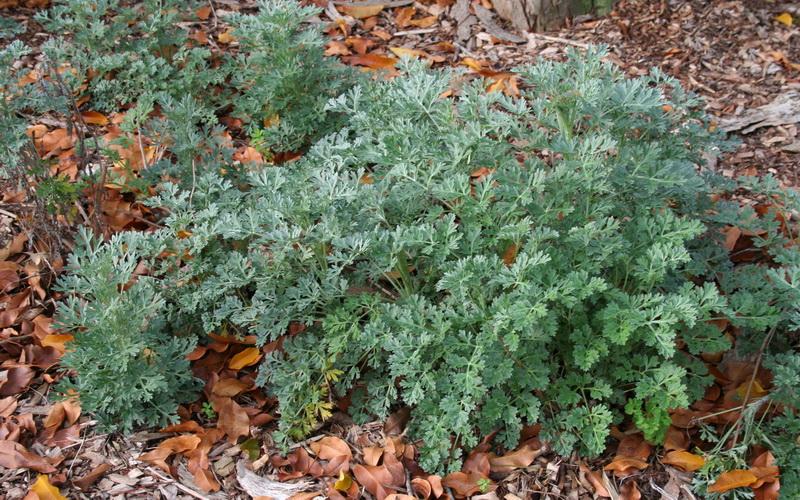 Pelin (Artemisia absinthium L.)
