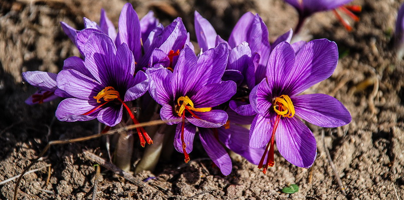 saffron-