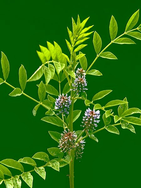 Sladić Glycyrrhiza glabra L. (Fabaceae)