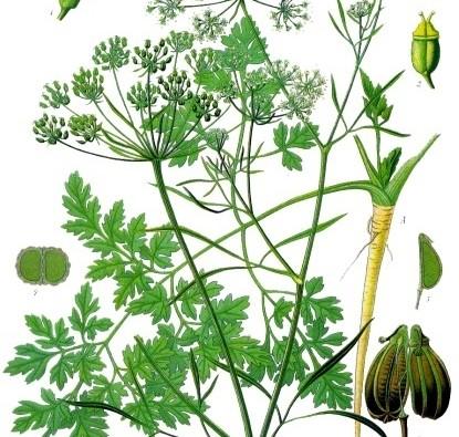 Petroselinum_crispum_-_Köhler–s_Medizinal-Pflanzen-103