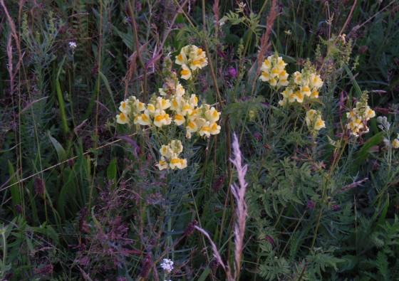 linaria-vulgaris-flos-wild-yellow-toadflax-echtes-leinkraut-linaire-commune-lanilist-luteolin-mother-tincture-urtinktur-teinture-mere-homeopat-tinktura-ekstrakt-yt1mi-biljni-preparati-com