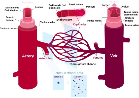 capillaries-function-and-structure