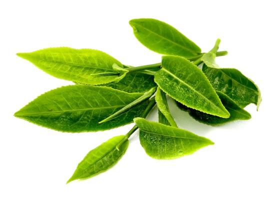 camelia-sinensis-green-tea-yt1mi
