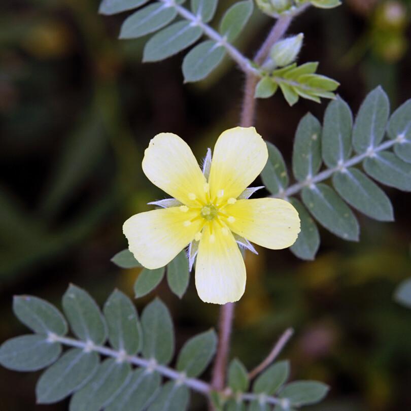 BABIN ZUB – BUGARSKI Tribulus terrestris Bulgaricum (Zygophyllaceae)
