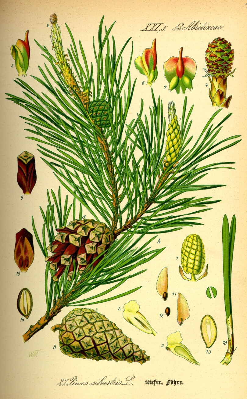 BELI BOR Pinus sylvestris (Pinaceae)