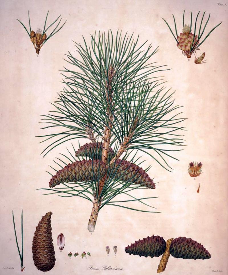CRNI BOR Pinus nigra (Pinaceae)