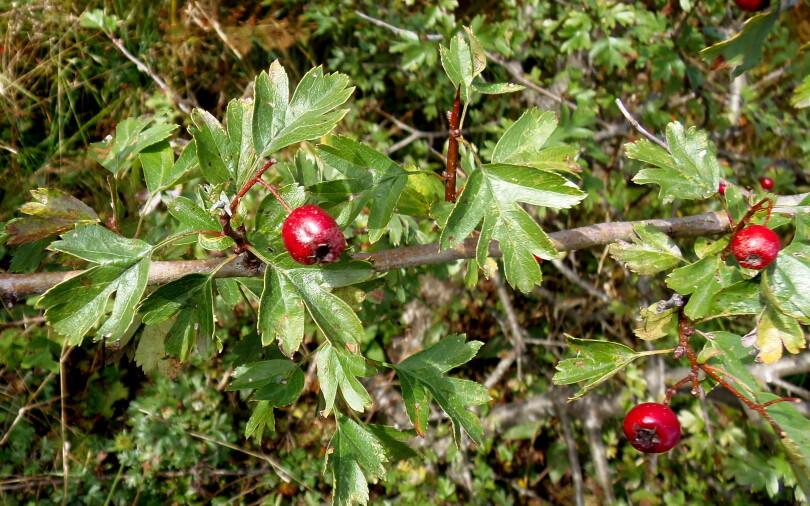 Beli glog – Crataegus monogyna Jacquin L. (Rosaceae)