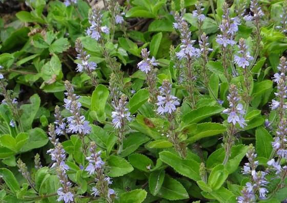 Veronica-Officinalis-Scrophulariaceae