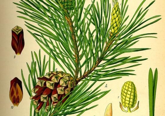 beli-bor-pinus-sylvestris-pine-white