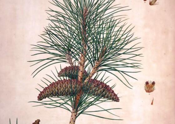 crni-bor-pinus-nigra-black-pine